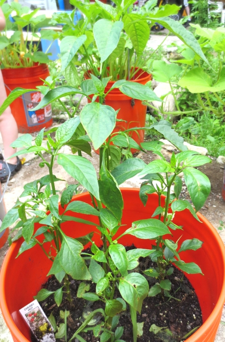 hot-cherry-peppers